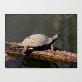 Turtle sunbather Canvas Print