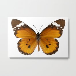 "Butterfly species danaus chrysippus ""plain tiger"" Metal Print"