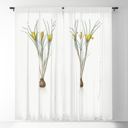 Cloth-of-gold crocus  from Les liliacees (1805) by Pierre Joseph Redoute (1759-1840) Blackout Curtain