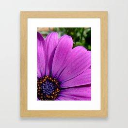 Purple Osteospermum Framed Art Print