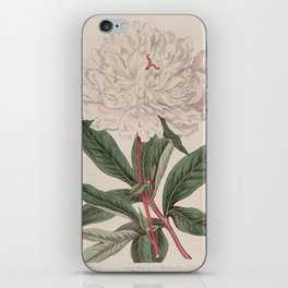 Flower 630 paeonia albiflora whitleji Whitley s double white Chinese Peony13 iPhone Skin