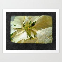 Pale Yellow Poinsettia 1 Blank P4F0 Art Print