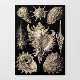 Ernst Haeckel Prosobranchia Sea Shells Canvas Print