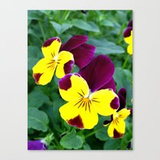 Yellow Pansy Canvas Print