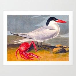Cayenne Tern Art Print