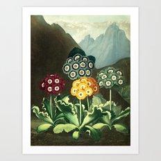 Group of Auriculas :  Temple of Flora Art Print