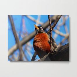 Red breasted robin Metal Print