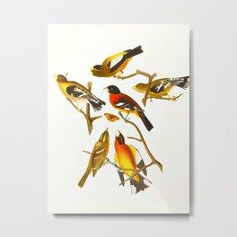 Evening grosbeak John James Audubon Vintage Birds Of America Illustration Metal Print