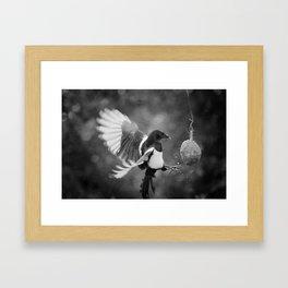Magpie Feeding Framed Art Print