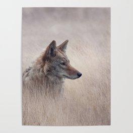 Close Up image of Coyote in a grassland Poster