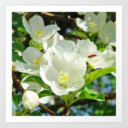 Spring Apple Blossoms Art Print