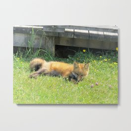 YOUNG RED FOX RELAXING Metal Print
