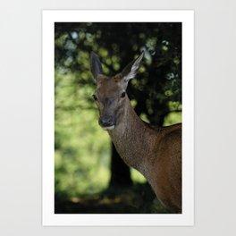 Red Deer Close-Up Art Print