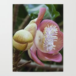 Cannonball Flower Poster
