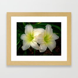 Glowing white daylily flowers - Hemerocallis Indy Seductress Framed Art Print