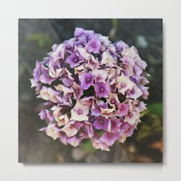 Pink and Purple Hydrangea Metal Print