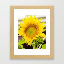 Helianthus Framed Art Print