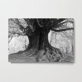 Old Platanus tree Metal Print