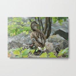 Duck on the Rocks (Common Mallard) Metal Print