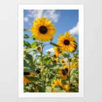 sunflowers Art Prints featuring Sunflowers by David Tinsley