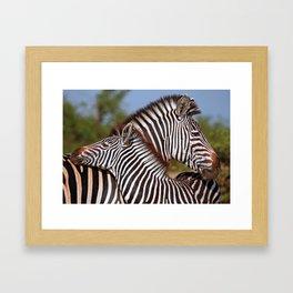 Zebra love, Africa wildlife Framed Art Print