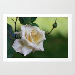 Beautiful Cretan Rose Art Print