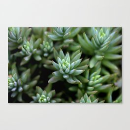 Green cactus Canvas Print