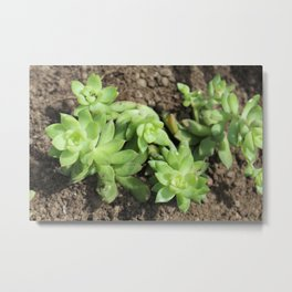 Succulents at The Sky Garden, 20 Fenchurch Street, London Metal Print