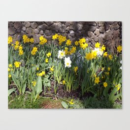 Yellow and White Daffodils Against a Rock Wall Canvas Print
