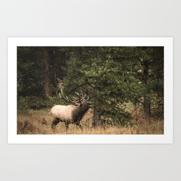 Bull Elk Rutting Season Art Print
