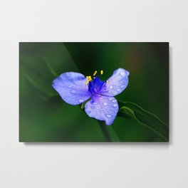 Dew Drops on Purple Spiderwort Flower Metal Print