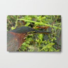Green Heron Portrait Metal Print