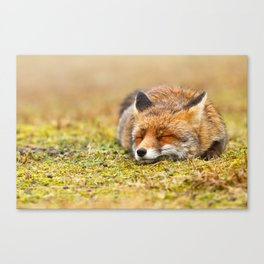 Comfortably Fox (red fox sleeping) Canvas Print