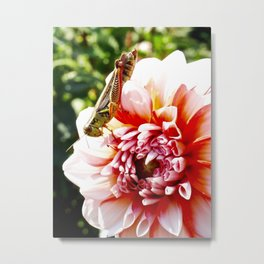 Grasshopper Grazing on a Dahlia Metal Print