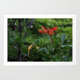 Notro flower in cucao chiloe Art Print