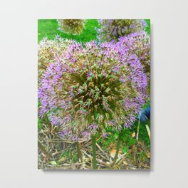 Purple Flower Close Up of Alliums Welcome to Boston Common Metal Print