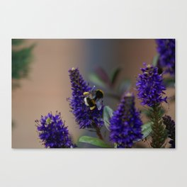 Bee Lavender - Bumble Bee in Garden Canvas Print