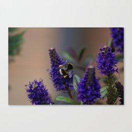 Bee Lavender - Bumble Bee in Garden Canvas Print