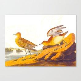 Buff-breasted Sandpiper Bird Canvas Print