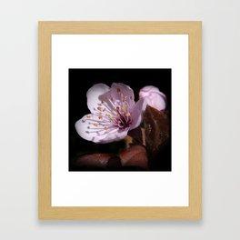 japanese cherrytree-blossom on black -2- Framed Art Print