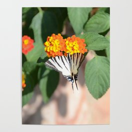 Scarce Swallowtail Butterfly Poster