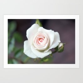 A White Rose in Bloom Art Print