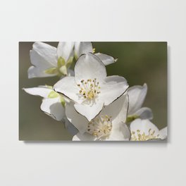 beautiful and fragrant jasmine flowers Metal Print