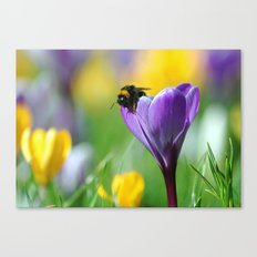 Bumble Bee on Crocus Canvas Print