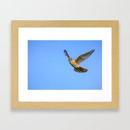 An American Kestrel Flying Looking For Prey in Nehalem, Oregon Framed Art Print