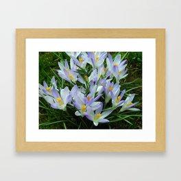 Lavender Crocus Framed Art Print