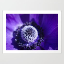 Purple Anemone De Caen Art Print