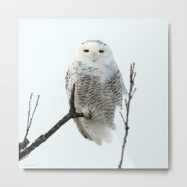 Snowy in the Wind (Snowy Owl 2) Metal Print