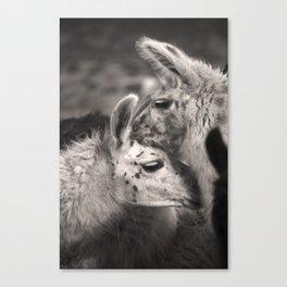 Llama Hugs Canvas Print