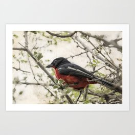 Crimson-breasted Shrike Art Print